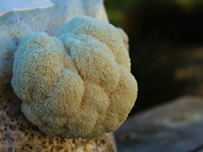 قارچ یال شیر هریسیوم اریناسیوس